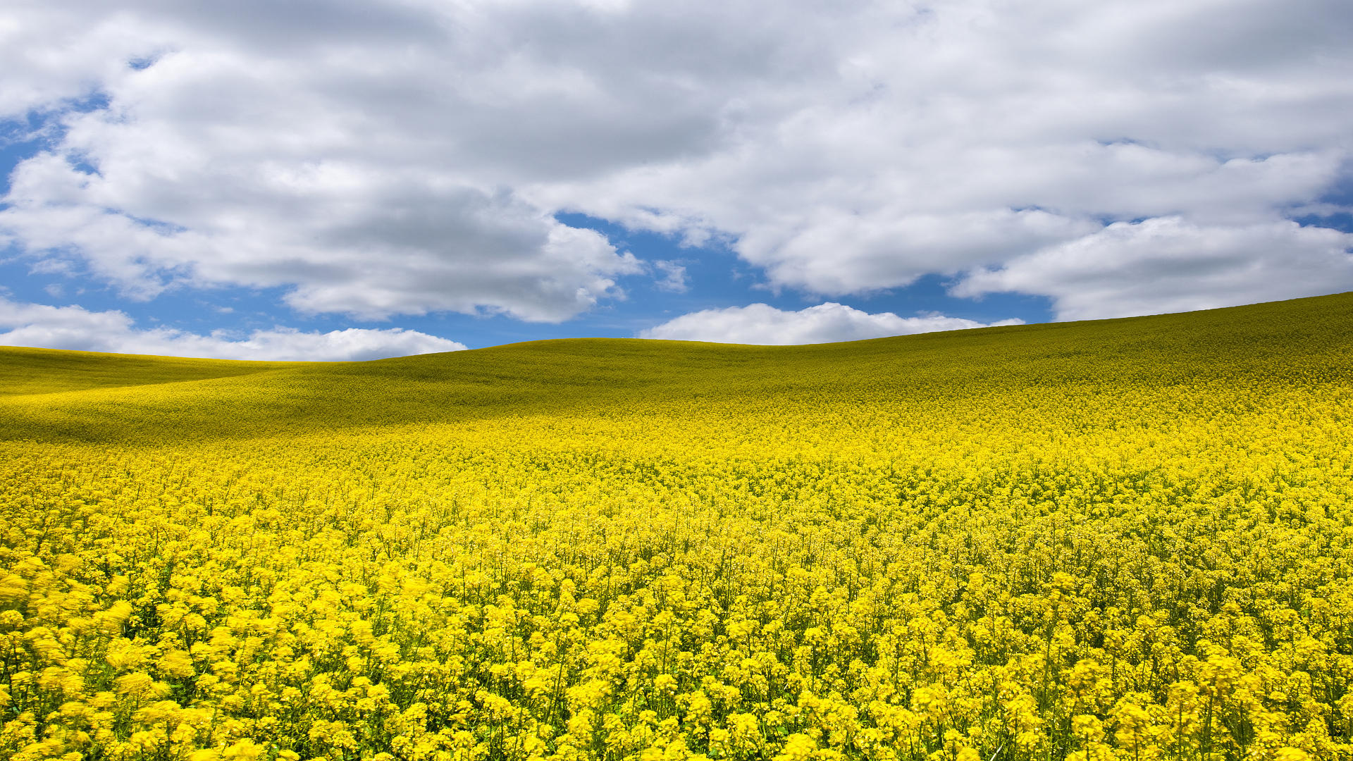 1920x1080 > Canola Wallpapers