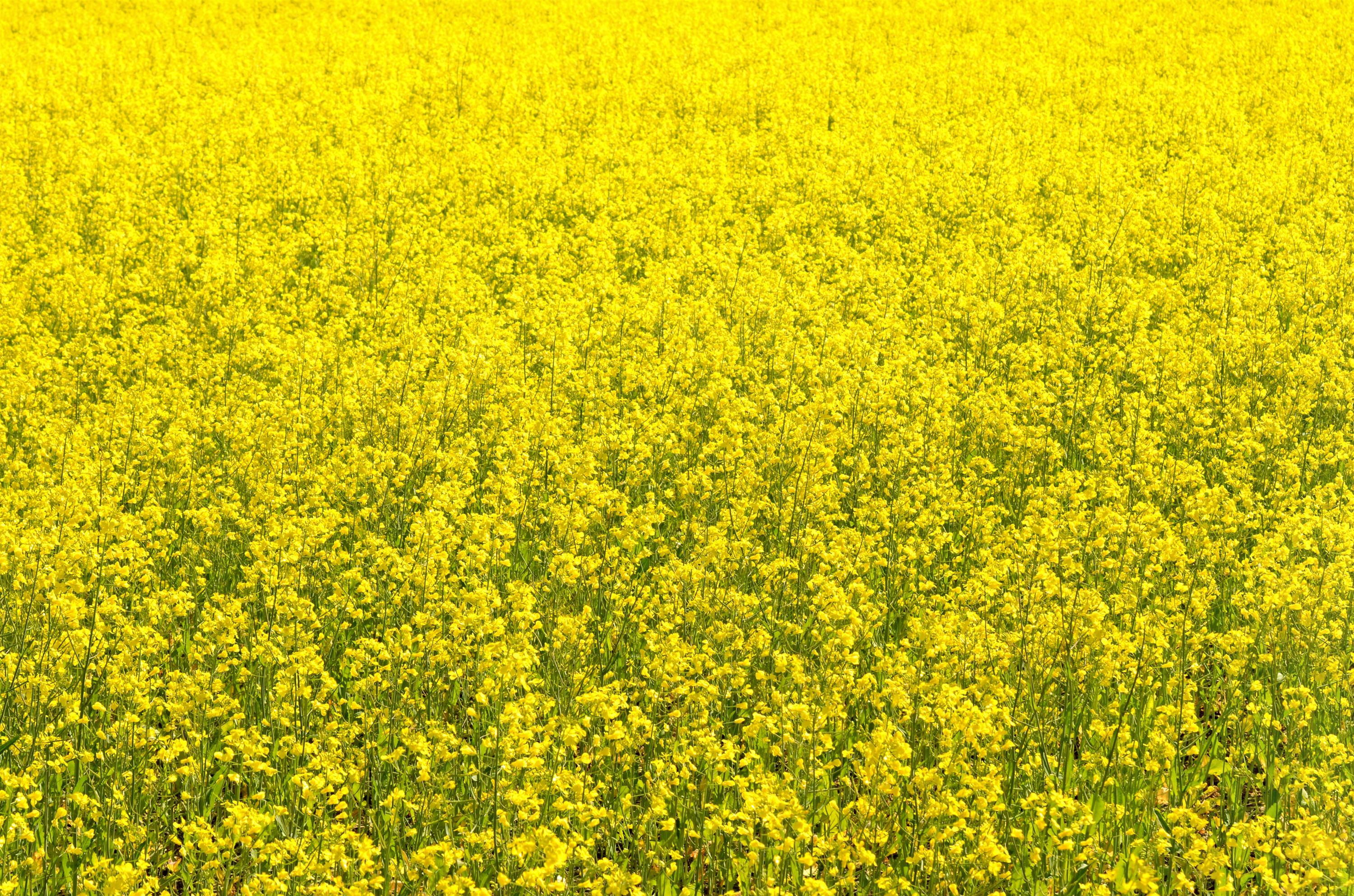 Canola High Quality Background on Wallpapers Vista