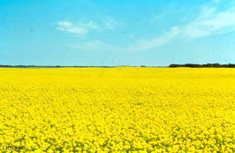 HQ Canola Wallpapers | File 33.68Kb