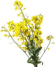 Amazing Canola Pictures & Backgrounds