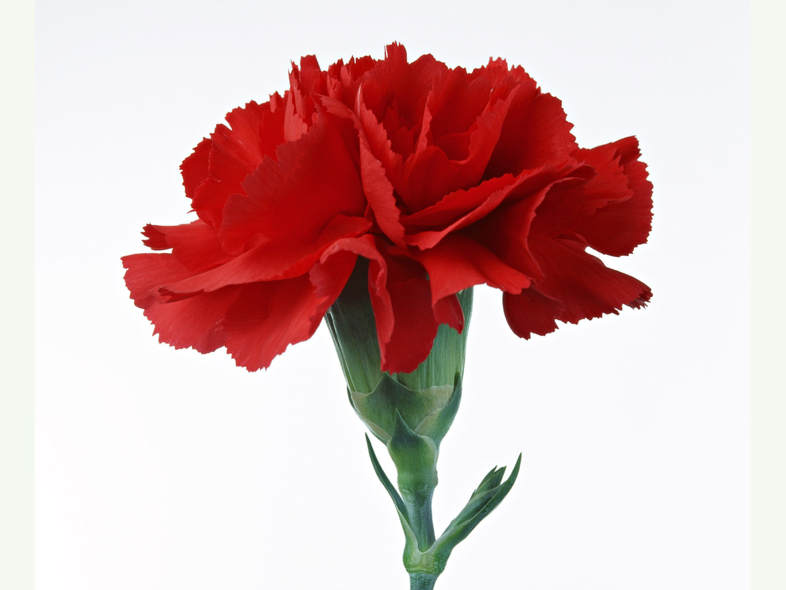 Nice wallpapers Carnation 1600x1200px