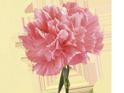 Carnation Backgrounds on Wallpapers Vista