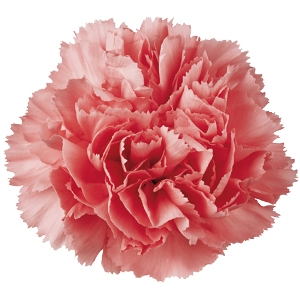 300x300 > Carnation Wallpapers