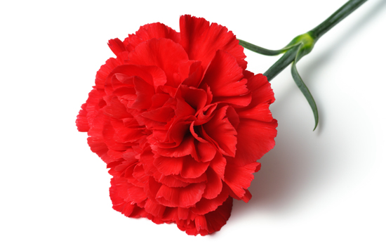 550x350 > Carnation Wallpapers