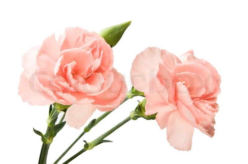 HQ Carnation Wallpapers | File 48.56Kb