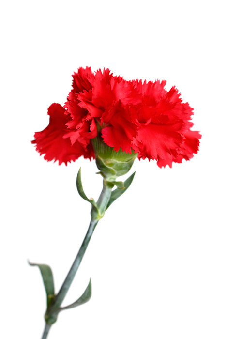 Carnation High Quality Background on Wallpapers Vista