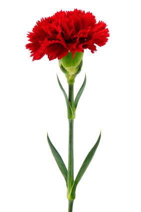Nice wallpapers Carnation 283x424px