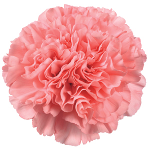 Carnation Pics, Earth Collection