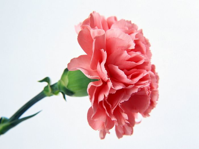 HQ Carnation Wallpapers | File 31.79Kb