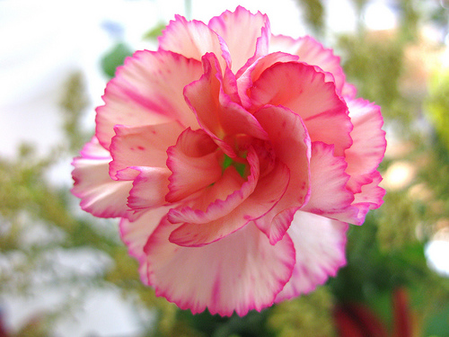 Nice wallpapers Carnation 500x375px