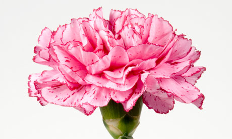 Images of Carnation | 460x276