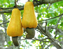 Amazing Cashew Pictures & Backgrounds