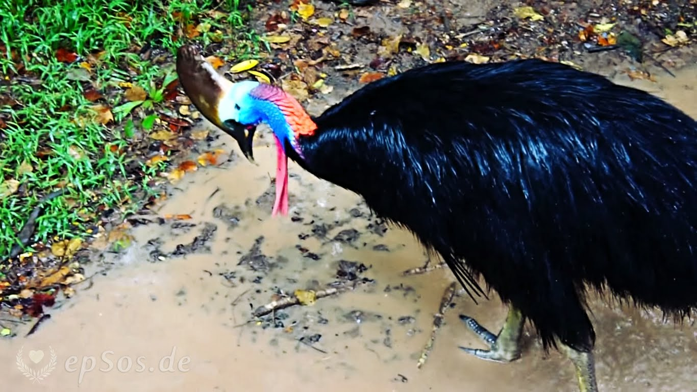 HD Quality Wallpaper | Collection: Animal, 1366x768 Cassowary