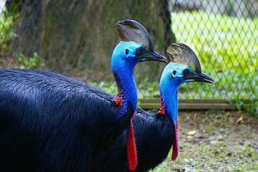Nice Images Collection: Cassowary Desktop Wallpapers
