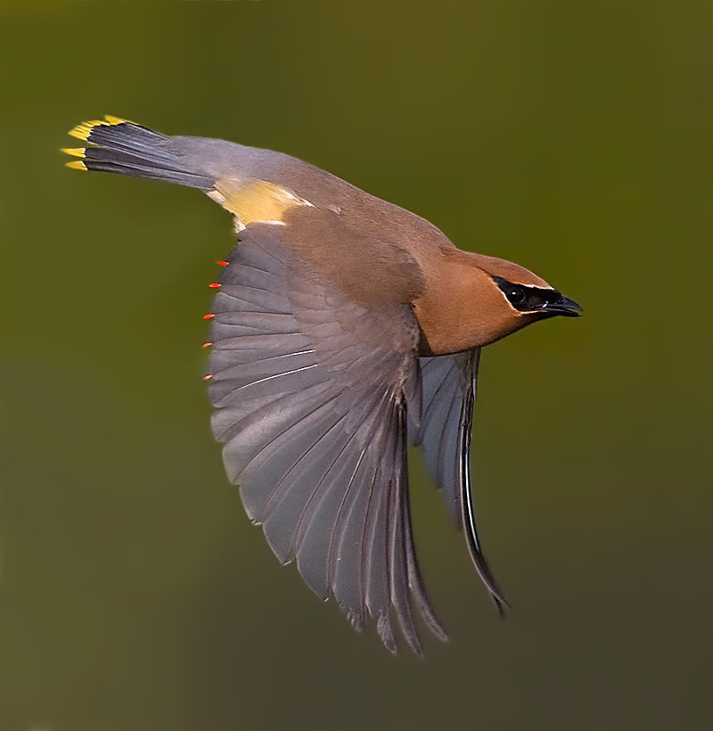 Cedar Waxwing HD wallpapers, Desktop wallpaper - most viewed