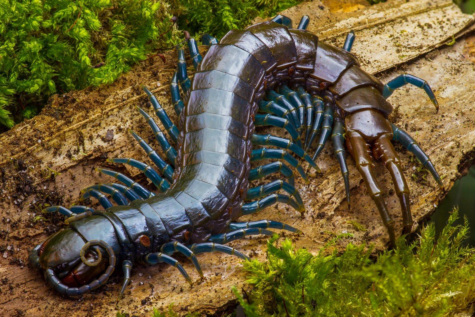 Centipede HD wallpapers, Desktop wallpaper - most viewed