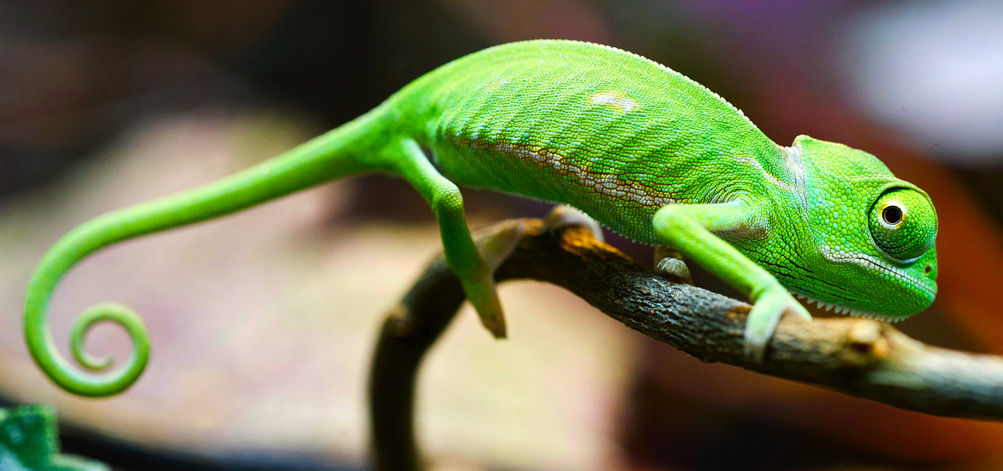 Chameleon HD wallpapers, Desktop wallpaper - most viewed