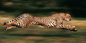 Cheetah HD wallpapers, Desktop wallpaper - most viewed
