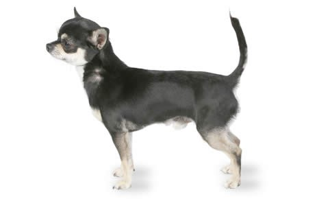 Chihuahua HD wallpapers, Desktop wallpaper - most viewed