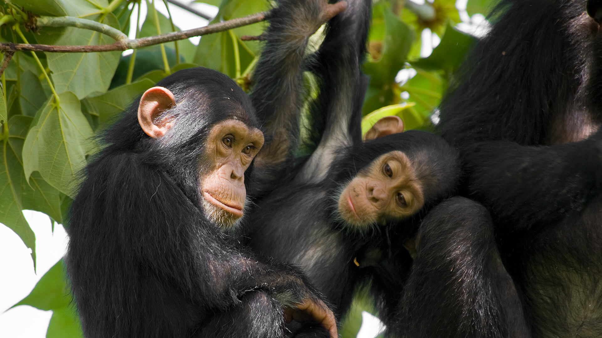 Chimpanzee HD wallpapers, Desktop wallpaper - most viewed