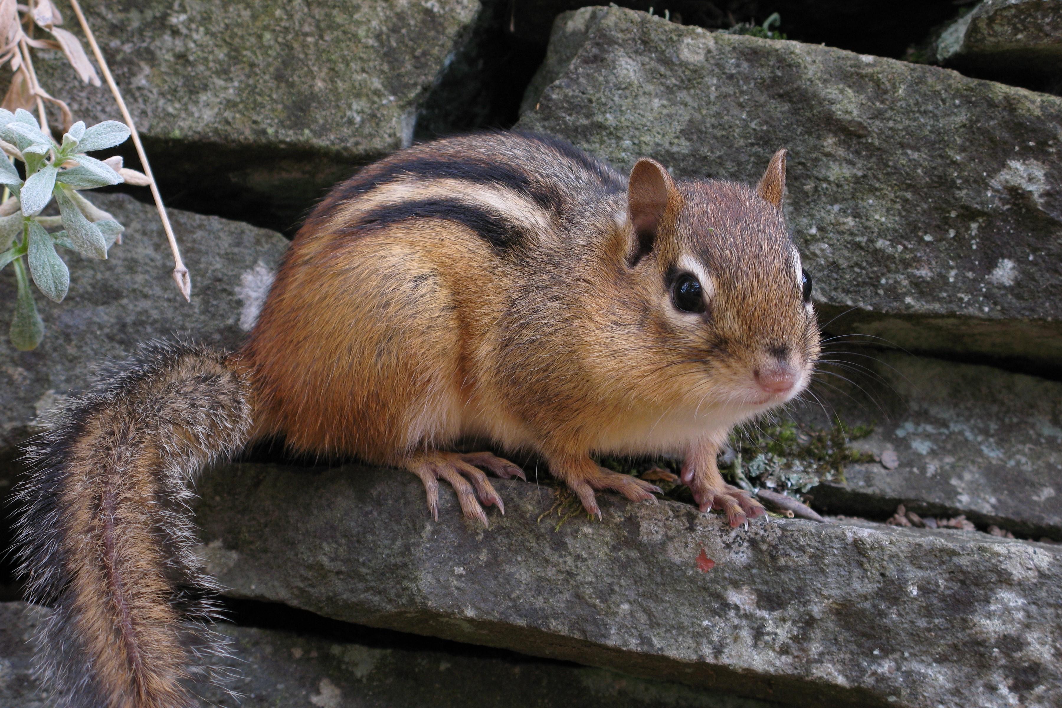 Chipmunk Pics, Animal Collection