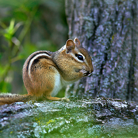 Amazing Chipmunk Pictures & Backgrounds