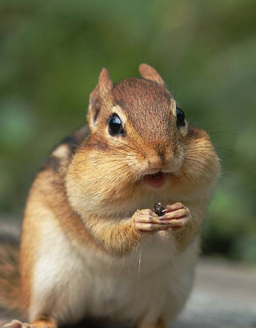 Chipmunk High Quality Background on Wallpapers Vista