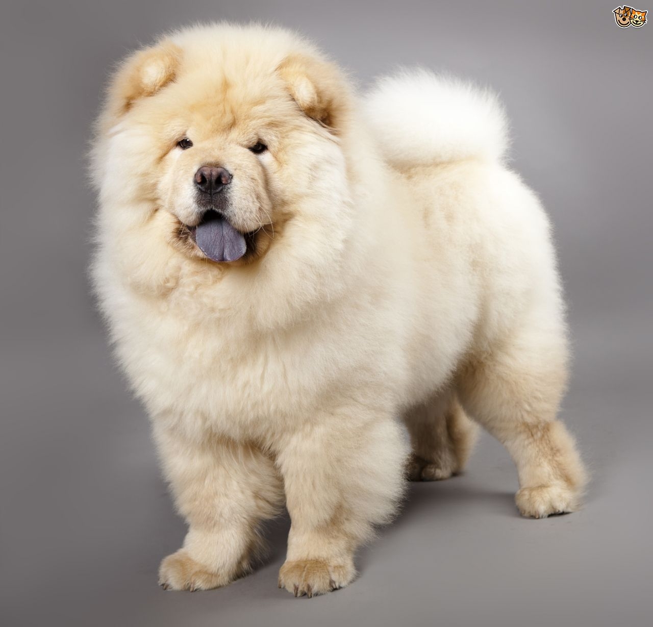 Chow Chow HD wallpapers, Desktop wallpaper - most viewed