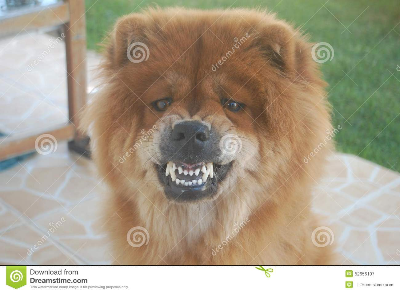 Chow Chow Backgrounds on Wallpapers Vista