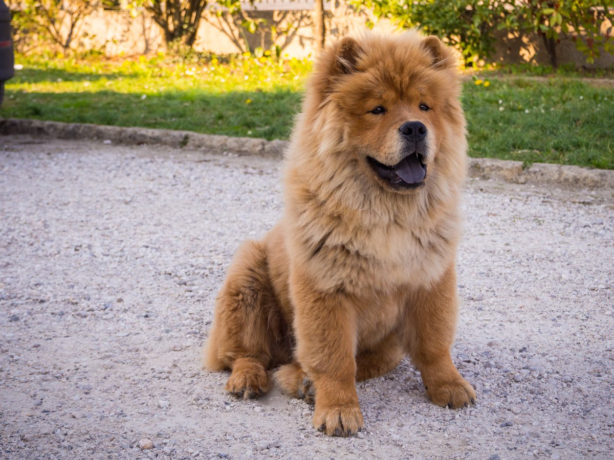 Chow Chow High Quality Background on Wallpapers Vista