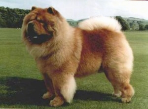 HQ Chow Chow Wallpapers   File 37.9Kb