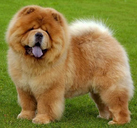 Amazing Chow Chow Pictures & Backgrounds