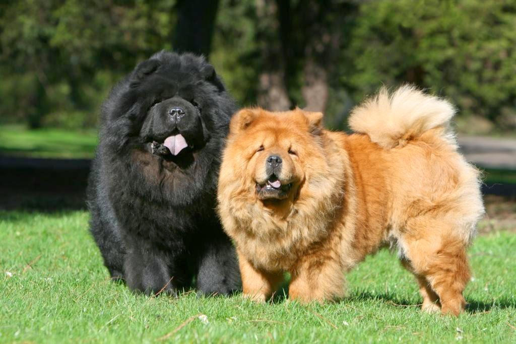 Chow Chow Pics, Animal Collection
