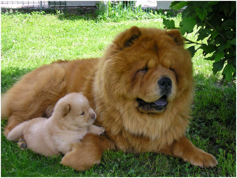 HD Quality Wallpaper   Collection: Animal, 800x602 Chow Chow