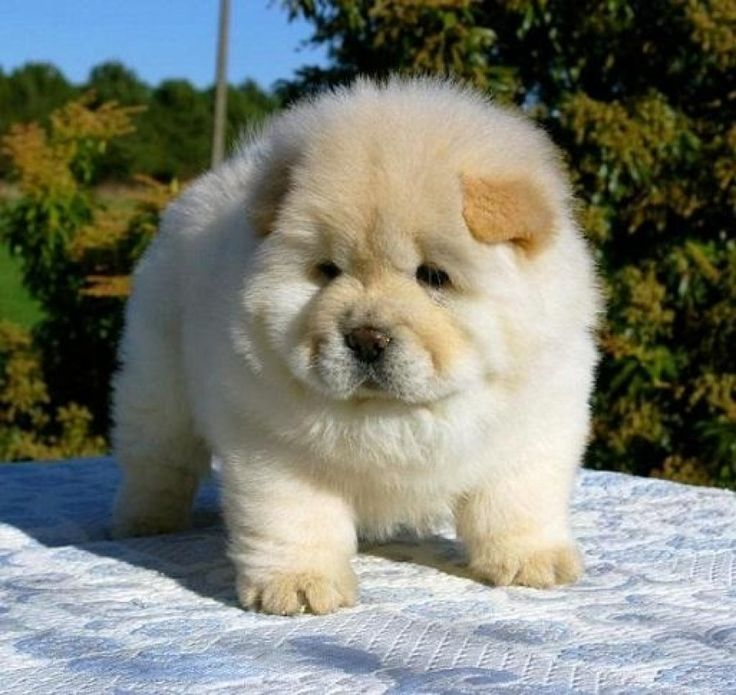 HQ Chow Chow Wallpapers   File 74.11Kb