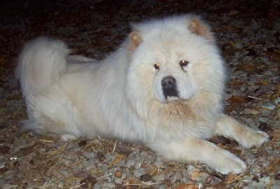 HD Quality Wallpaper   Collection: Animal, 400x270 Chow Chow