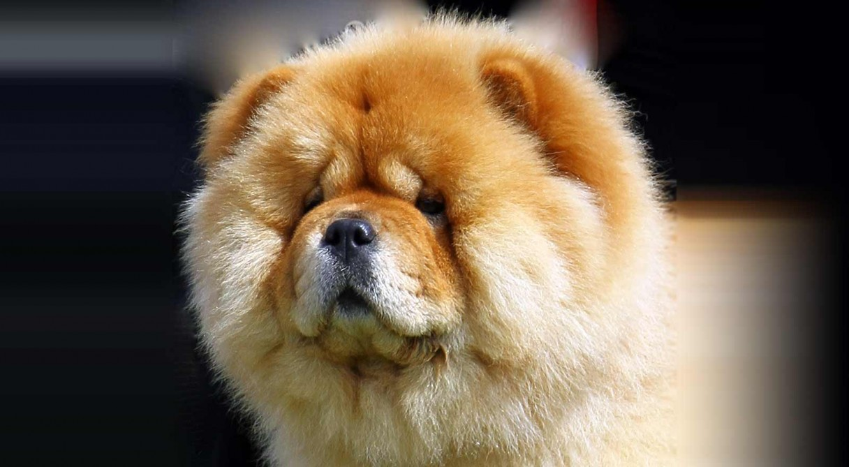 HQ Chow Chow Wallpapers   File 138.38Kb