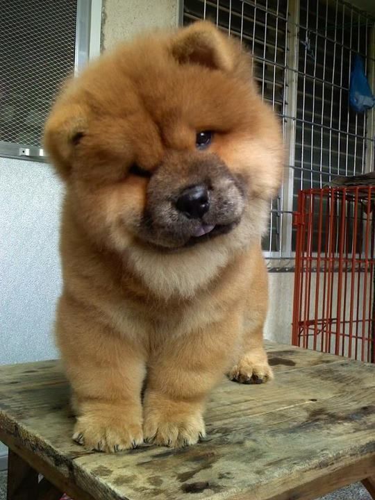 Nice wallpapers Chow Chow 540x720px