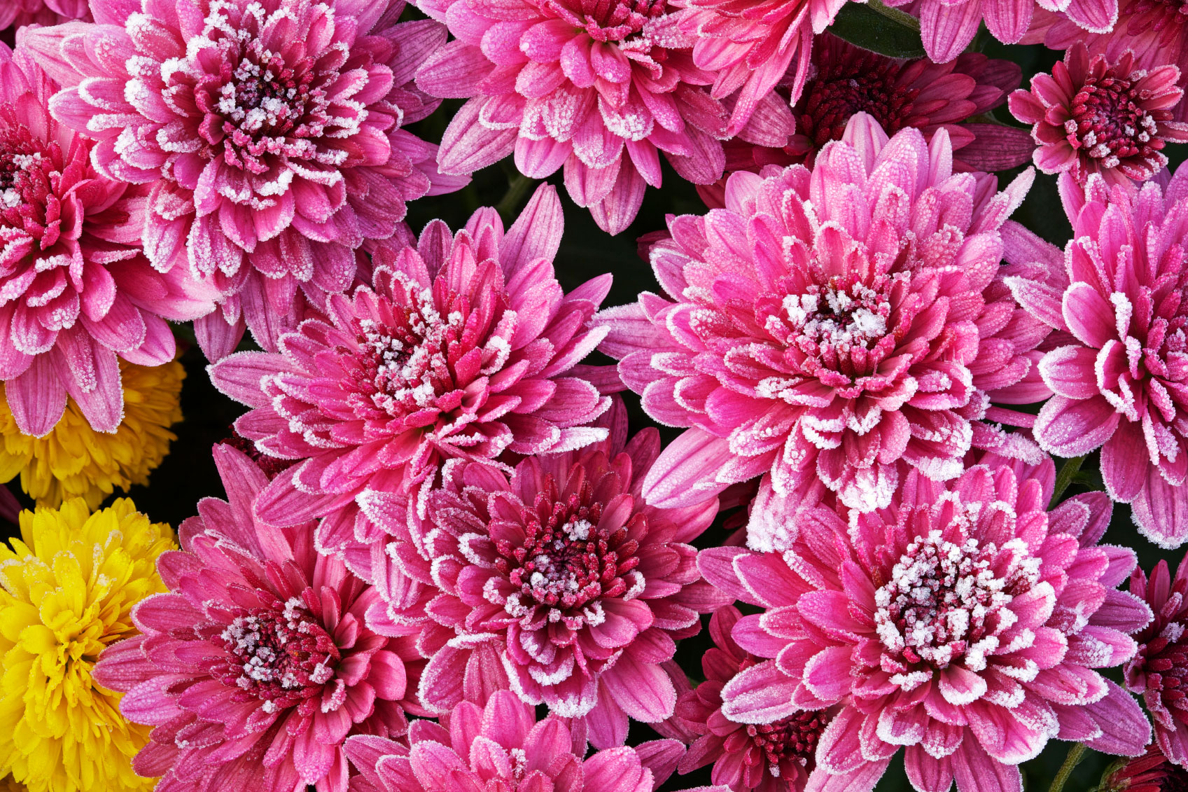 HD Quality Wallpaper | Collection: Earth, 1697x1131 Chrysanthemum
