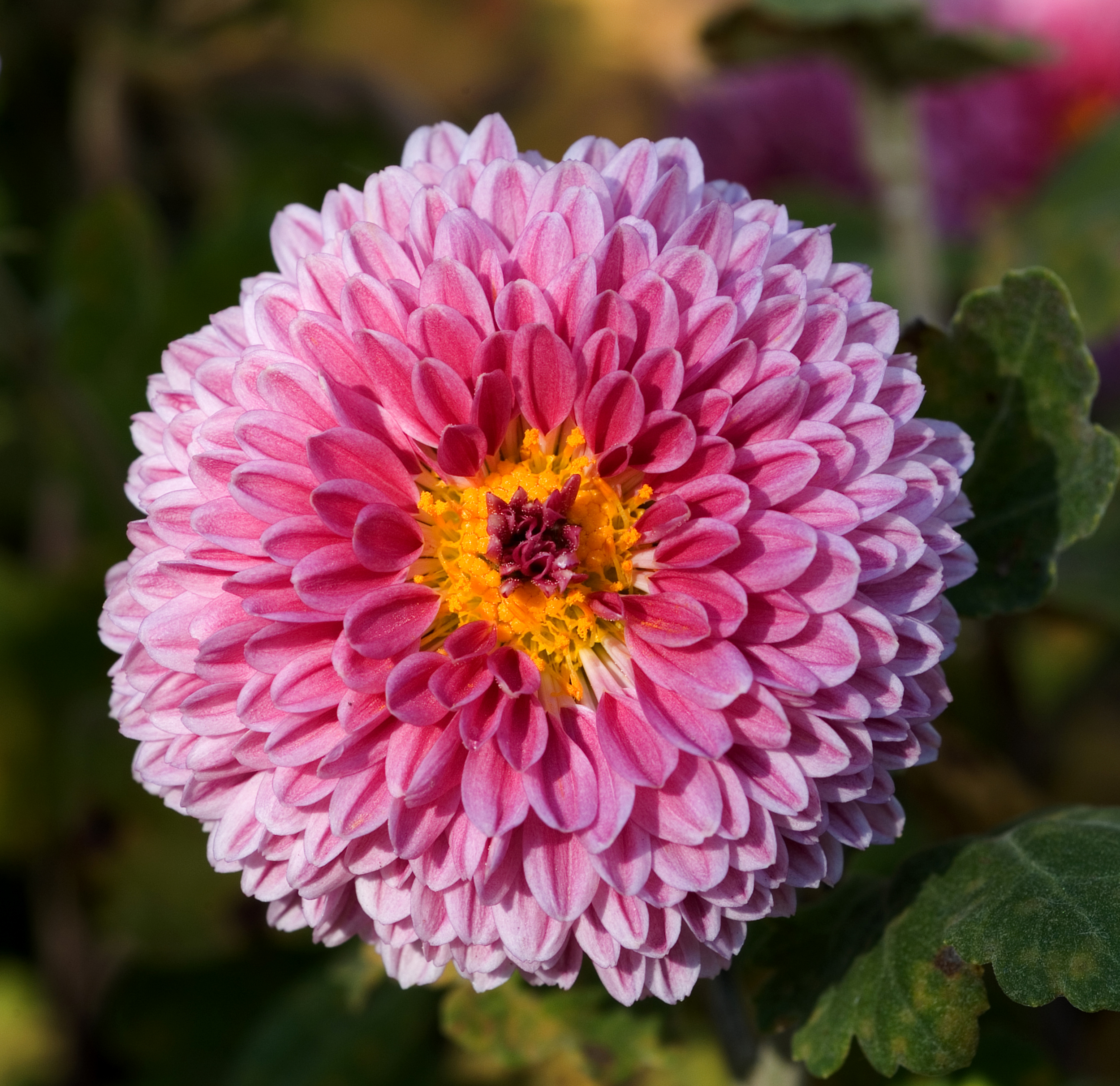 Chrysanthemum Pics, Earth Collection