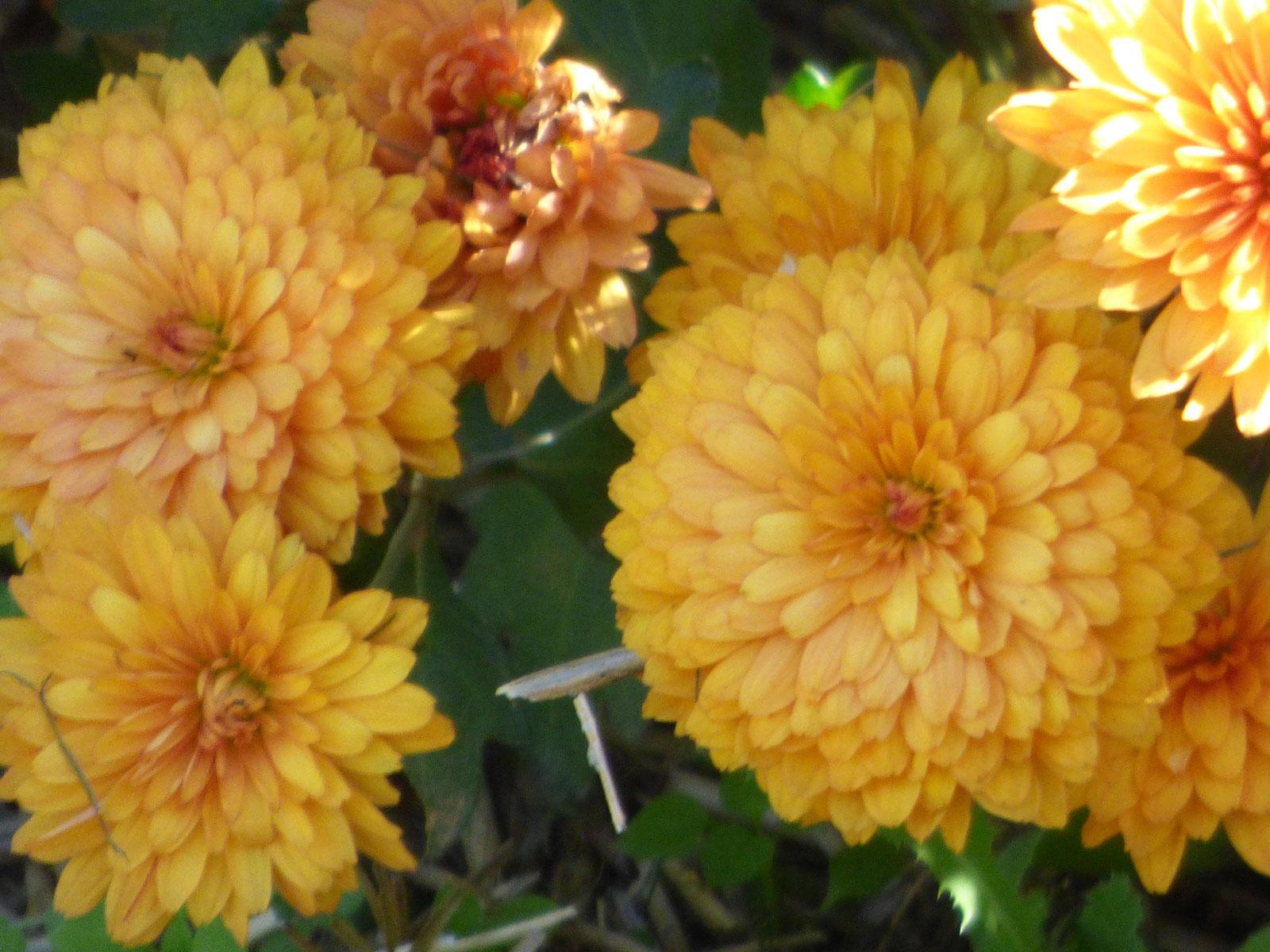 Nice Images Collection: Chrysanthemum Desktop Wallpapers