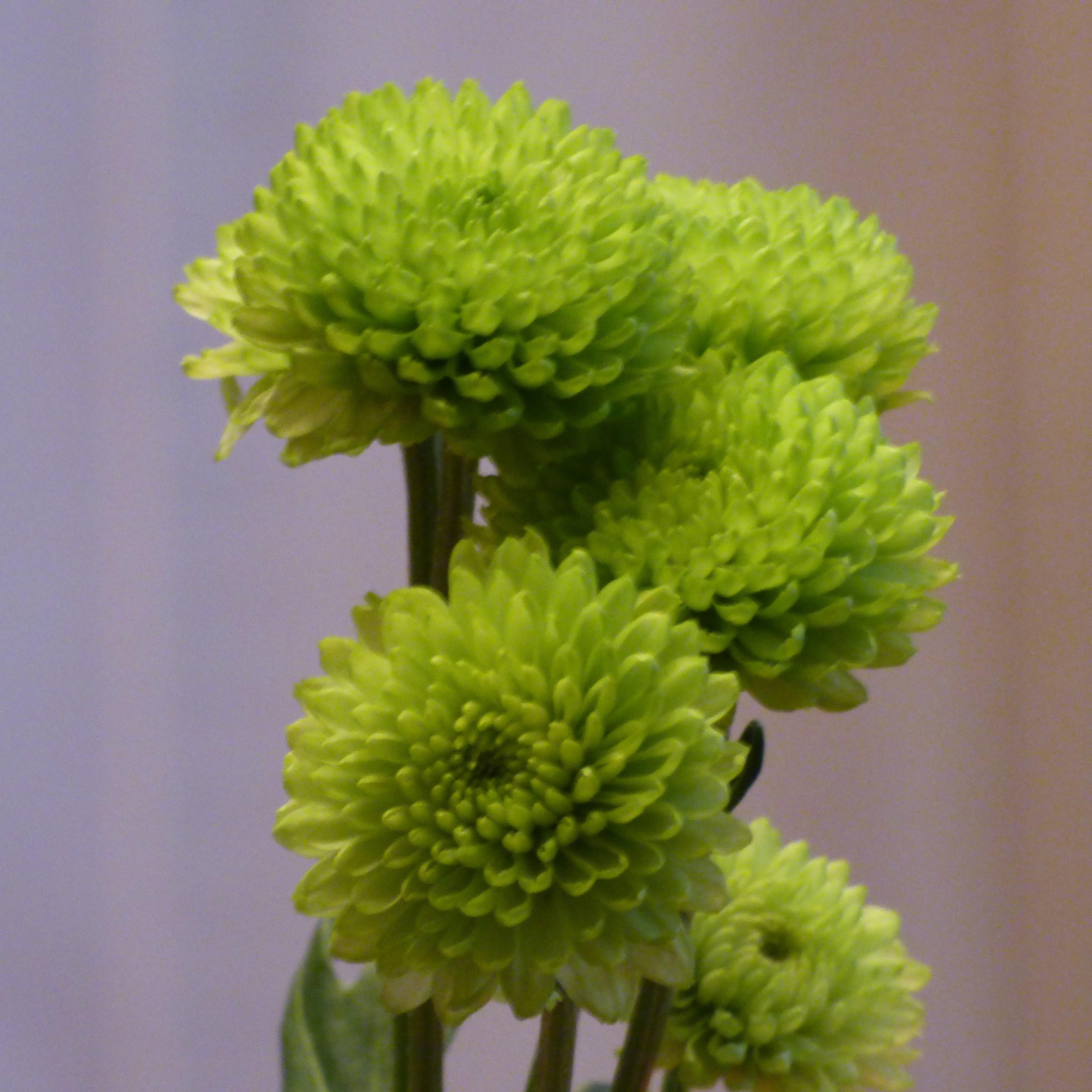Nice wallpapers Chrysanthemum 3456x3456px