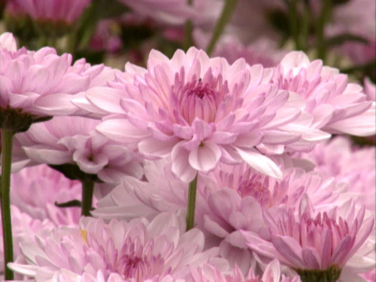 Amazing Chrysanthemum Pictures & Backgrounds