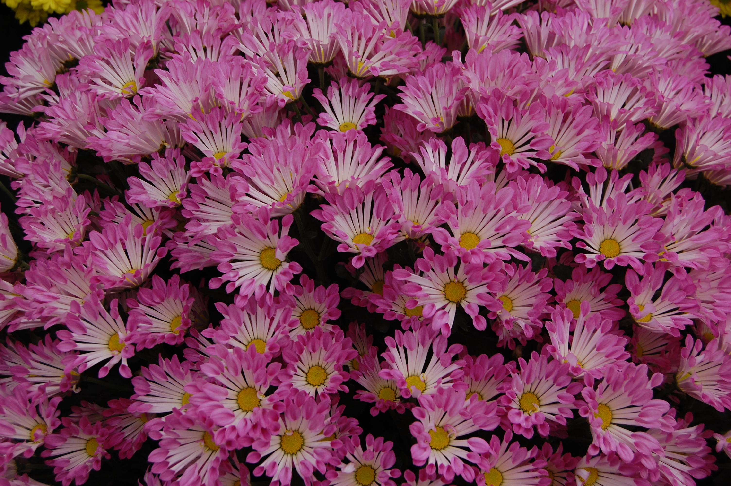 HD Quality Wallpaper | Collection: Earth, 3008x2000 Chrysanthemum