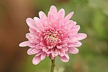 Images of Chrysanthemum | 220x147