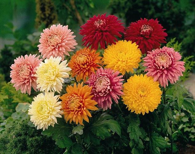 High Resolution Wallpaper | Chrysanthemum 634x502 px
