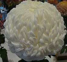 220x204 > Chrysanthemum Wallpapers