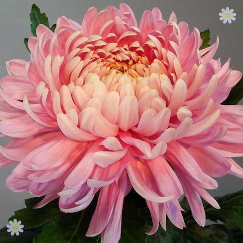 High Resolution Wallpaper | Chrysanthemum 500x500 px