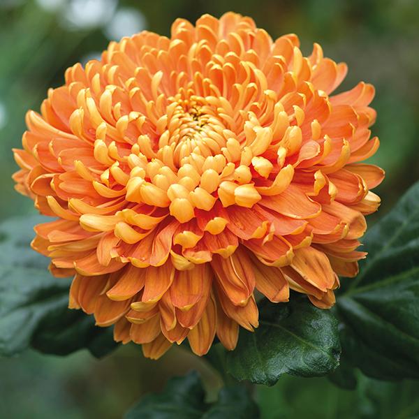 HQ Chrysanthemum Wallpapers | File 364.3Kb