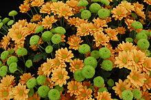 Chrysanthemum Backgrounds on Wallpapers Vista